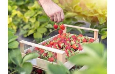 Cultura Căpșunilor