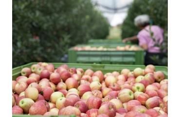 Cultura Mărului